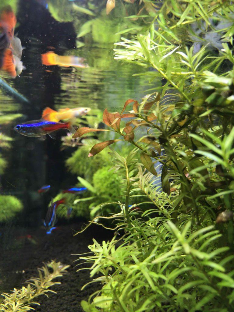 iPhoneで熱帯魚撮影